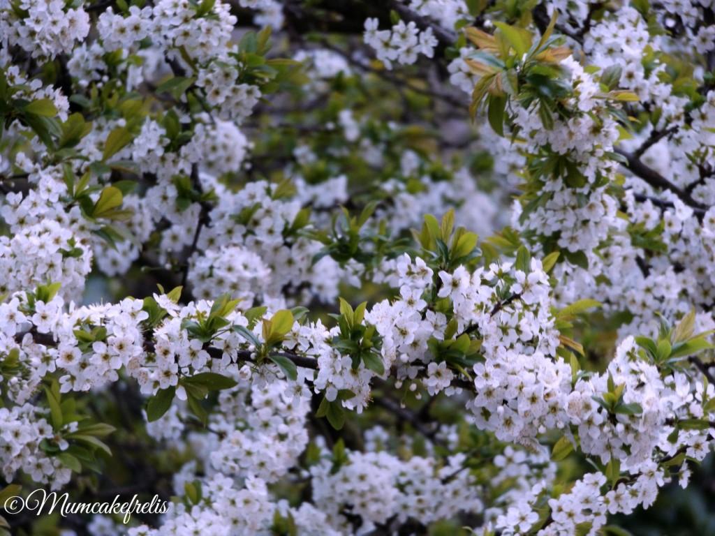 Rami di susino con fiori bianchi