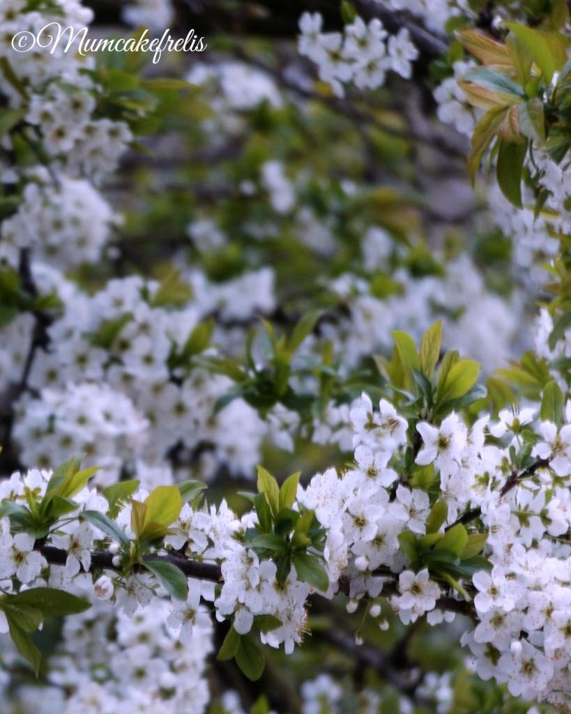 Ramo di susino con fiori bianchi