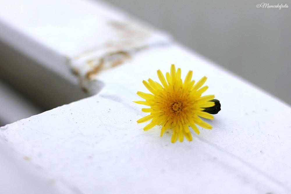Fiore di Tarassaco su ponte mirabello