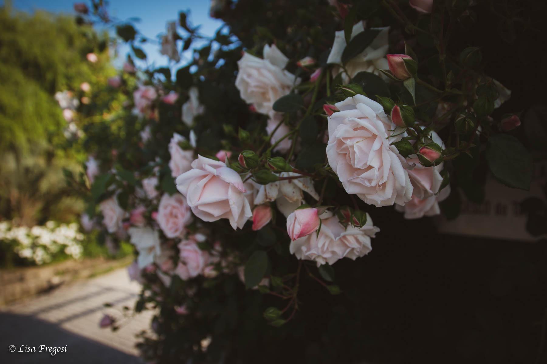 quali rose usare per lo sciroppo di rose